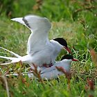 Arctic Terns Being Amorous  by James1980