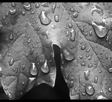 Black and White Leaf with Raindrops by Emily Heatherly