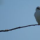 Black-shouldered Kite by BronReid