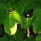 Tree Leaves - Stanley Park, VC by jessicaelyn