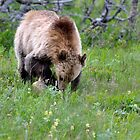 Hungry grizzly looking for food by Luann wilslef