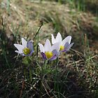 Crocus Companions by MsSexyBetsy