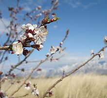 Cherry Blossoms & Mountains by Alli Ingalls