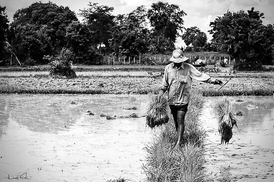 Cambodia:  Working in the Rice Paddy by Karen Willshaw