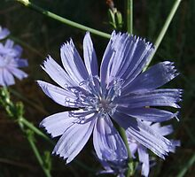 Morning Sun on Chicory Wildflower by Jan  Tribe