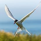Arctic Tern by Roger Hall