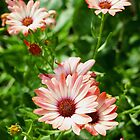 Pink Cinnamon Tradewind Daisy Flowers in the Garden by Amy McDaniel
