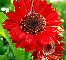 Giant Red Gerber Daisy Flower in the Garden by Amy McDaniel