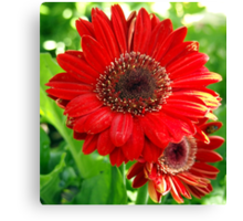 Giant Red Gerber Daisy Flower in the Garden Canvas Print