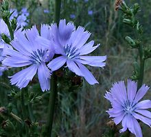 Chicory Wildflower ~ Blossom Stages by Jan  Tribe