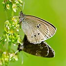 Mating Ringlets by M.S. Photography & Art
