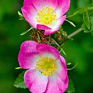 Rosa Canina by M.S. Photography/Art