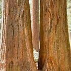 Sequoia Magic by Bryan Shane