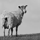 Sheep by ChrisMillsPhoto