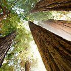 Redwood Canopy by Bryan Shane