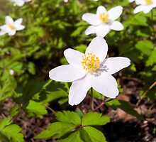 White anemone windflower by Arve Bettum