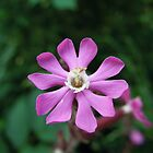 Red Campion by Louise Parton