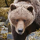 Alaskan Brown Bear by Margaret  Hyde