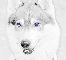 Huskies  by starprice