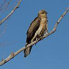 Whistling Kite  Canberra Australia   by Kym Bradley