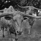 Here Come the Texas Longhorns by John  Kapusta