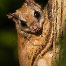 Northern Flying Squirrel. by Daniel Cadieux