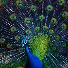 Peacock Display by Adrian Kent