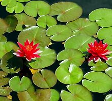 Floating pair of Red Water Lilly Flowers on Pond by Amy McDaniel