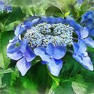 Blue Lace Cap Hydrangea Let's Dance Starlight by Susan Savad