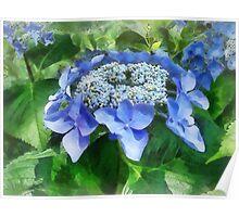 Blue Lace Cap Hydrangea Let's Dance Starlight Poster