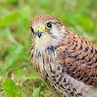 Kestrel by Mark Hughes