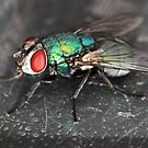 Greenbottle Fly by Peter Stone