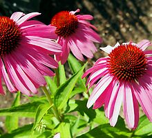 Pink and Purple Echinacea Cone Flower Macro by Amy McDaniel