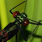 River Jewelwing grooming #2 by Kane Slater