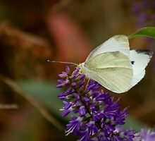 White Butterfly on Hebe Flower by Belinda Osgood