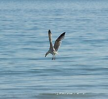 Diving Seagull by Gordondon