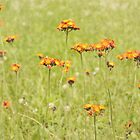 Textured Orange Hawkweed by April Koehler