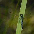 Pond Jewel - Blue and Green Dragonfly by Georgia Mizuleva