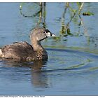 Pied Billed Grebe by Dennis Stewart