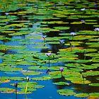 Water Lilies  by Stephanie Jensen
