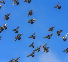 Doves and pigeons in flight by GrishkaBruev