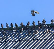 Doves in a Row on Rooftop by GrishkaBruev