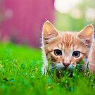 Young Kitten Is Hunting On Green Grass by GrishkaBruev
