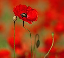 Poppy by Norfolkimages