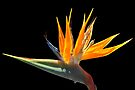 BIRD OF PARADISE 1021 by Thomas Barker-Detwiler