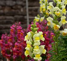 Antirrhinum by Kevin Cartwright