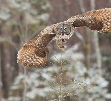 Hunting Great Grey Owl by MIRCEA COSTINA