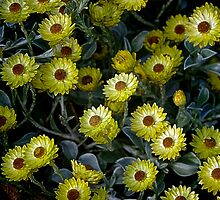 Paper Daisies. by Bette Devine