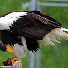 STELLAR'S SEA EAGLE by Larry Trupp