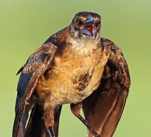 A Verbal Female Grackle by jozi1